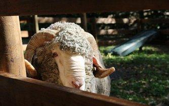 Australské ovce, ilustrační foto