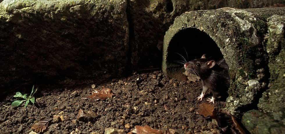 Potkan, ilustrační foto
