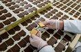 Výroba sušenek v německé firmě Bahlsen