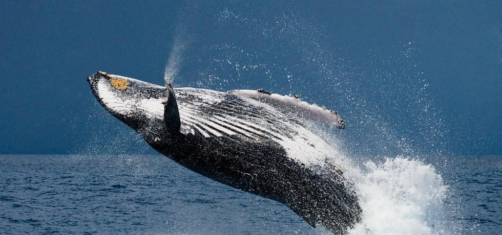 Velryba, ilustrační foto