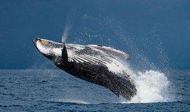 """Ne stromy, ale velryby mají spasit lidstvo. """"Klimatická hodnota"""" jednoho kytovce je 46 milionů"""