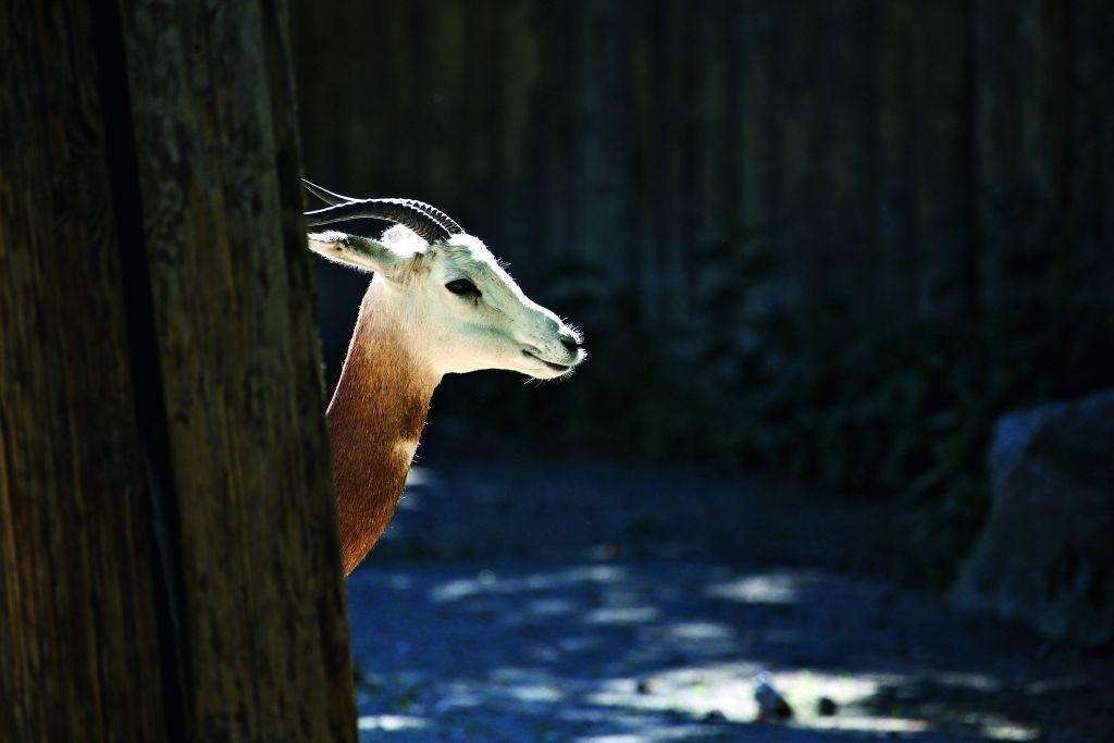 Gazela červenokrká