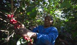 Sklizeň kávy v Guatemale, ilustrační foto