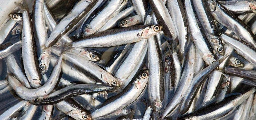 Ančovičky, nejpoužívanější surovina pro výrobu rybí moučky