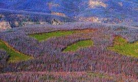 Nejen u nás. Toto není záběr odněkud z Jeseníků či Beskyd, ale z Rocky Mountains v Coloradu. Práce severoamerického lýkohuba Dendroctonus ponderosae, který v důsledku zvýšených teplot a suchých let proniká do oblastí, ve kterých nikdy nebyl