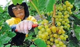Kvůli nepříznivému počasí se produkce vína loni dostala na šedesátileté minimum