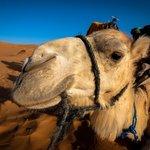 Velbloud - jeden ze symbolů Egypta