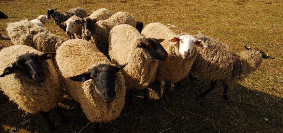 Ovce, ilustrační foto (Zdroj: Mladá fronta, archiv)