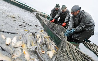 rybáři, výlov, ryby, kapr, Třeboň