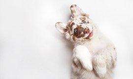 10 nejdražších psích plemen
