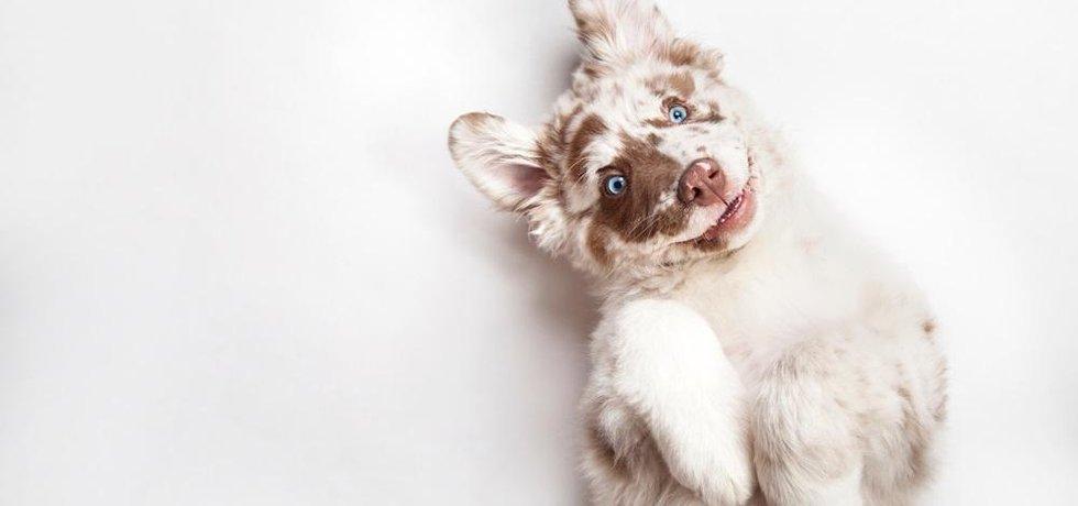 Nejdražší psí plemena na světě
