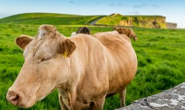 O louce si mohou krávy v megafarmách jen nechat zdát. Ilustrační foto.