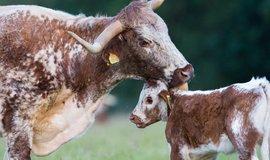 Kráva a tele, ilustrační foto