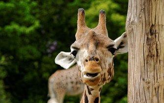 Žirafa ze ZOO v Lipsku.