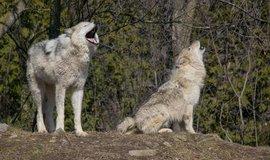 Vlci, ilustrační foto