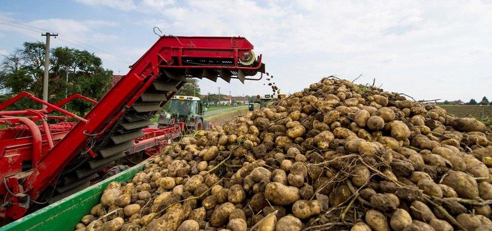 Sklizeň brambor, ilustrační foto