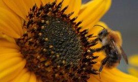 Včela, ilustrační foto