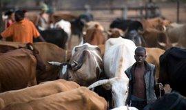 Krávy jsou v africkém Zimbabwe vzácnou komoditou.