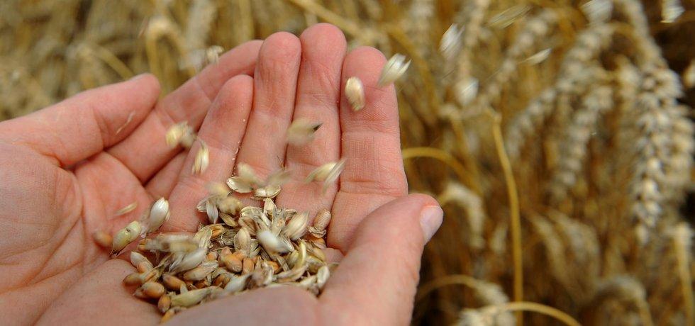 Pšenice patří mezi obiloviny, které obsahují nejvíce lepku