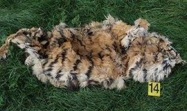 Česká tygří matrika. Tuzemský výzkum se postaví pašerákům
