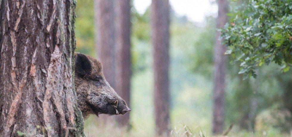 Africký mor prasat se rozšířil mimo ohradníky, ilustrační foto