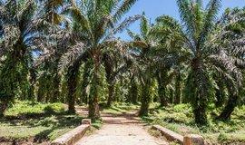 Palmová plantáž, ilustrační foto