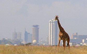 Žirafa v Nairobi Natinal Park, v pozadí se tyčí budovy Nairobi. Ilustrační foto.