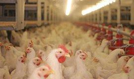 Chov kuřat, ilustrační foto