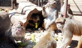 Makaci jsou společenští tvorové a vytváří tlupy s hierarchickou strukturou.