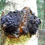 Dřevokazná houba rezavec šikmý se objevuje na břízách. Podle lidové tradice léčí rakovinu.