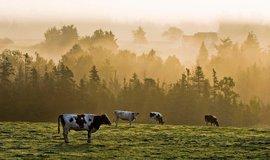 Pastvina na ostrově Prince Edwarda v Kanadě