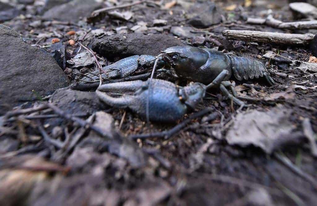 Uhynulý rak v korytu vyschlého potoka v CHKO Žďárské vrchy