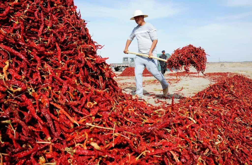Sklízení chilli papriček v Číně - ilustrační foto