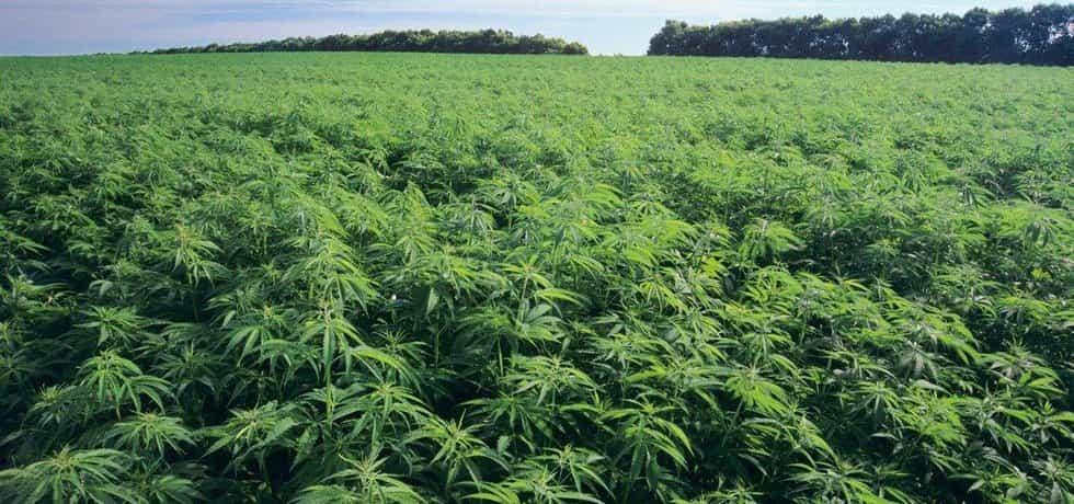 Pole s marihuanou, ilustrační foto
