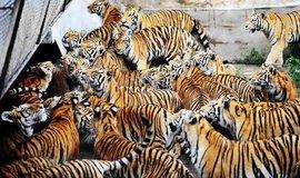 Tygří park v Číně, ilustrační foto