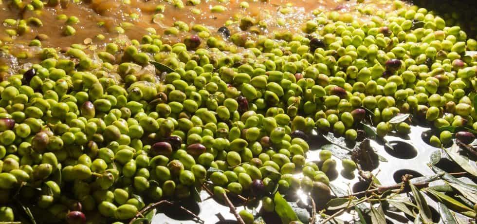 Výroba olivového oleje začíná praním plodů