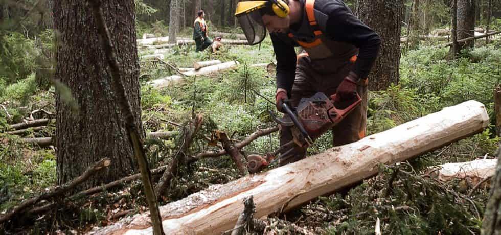Kácení stromů napadených kůrovcem