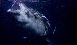 Žralok obrovský, nebo také žralok velrybí, je největší žralok na světě. Dorůstá až 18 metrů.