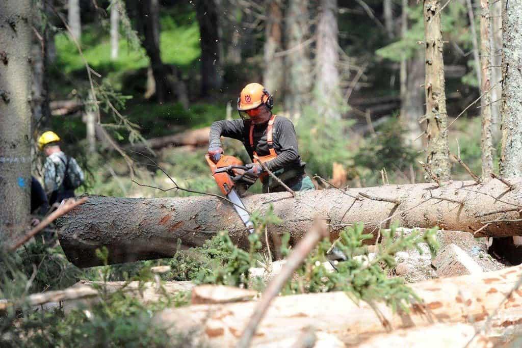Kácení stromů napadených kůrovcem - ilustrační foto